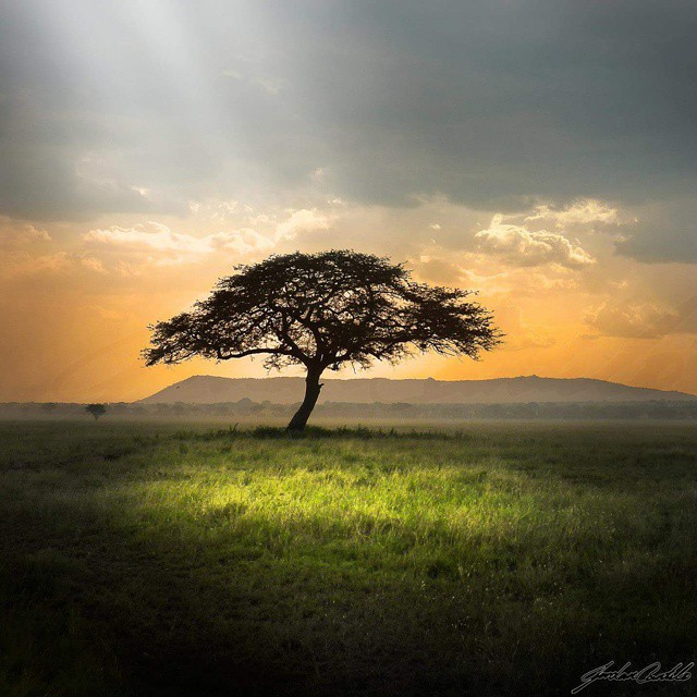 The Serentgeti landscape is so raw, and the iconic Acacia…